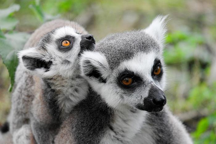 Lemur-Antananarivo-animal